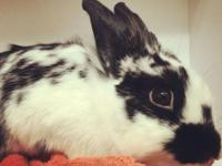 Goose is an adorable lionhead/spot mix rabbit. She is