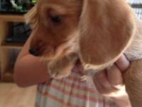 BEAUTIFUL LIGHT RED/CREAM FEMALE, beautiful ears! soft