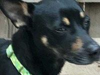 GorGee's story Gor-Gee - 3 yo, manchester terrier mix,