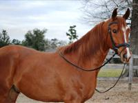 EnComing is a 5-year-old 1/2 Arabian offered for your