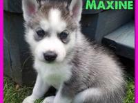 We have 3 more of these beautiful Siberian Huskies for