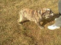 Razor is a gorgeous, fawn brindle boy with a white