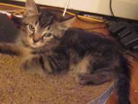 Beautiful 8 week old kittens,1 gray female, 1 tabby