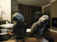 Gorgeous African Grey Parrots for Adoption Very large