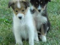 Introducing Candy (Sable and White) and Pippa
