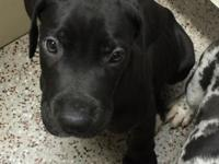 Rocky is a gorgeous black with white markings male