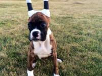 AKC male flashy brindle Boxer, 14 weeks old and all set