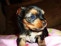 Absolutely gorgeous very small female yorkie puppy born