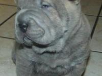 Beautiful shar pei puppies, in VERY RARE COLORS. The