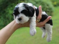 This gorgeous little boy is a black/white parti color,