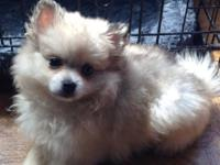 Paris is a cream sable merle Pom young puppy who is