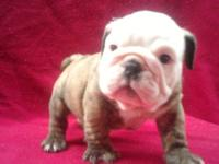 Gorgeous akc english bulldogs puppies, pups are up to