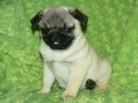 Absolutely beautiful male Fawn Pug puppy now available