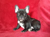 Gorgeous AKC french bulldog puppy outstanding pedigree