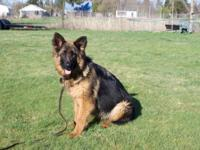 We have a gorgeous female german shepherd. Long rich
