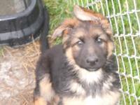 Stunning AKC reg. German shepherd young puppies, simply