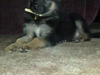 Gorgeous black and tan and sable puppies available,
