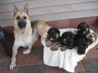 Purebred AKC German Shepherd puppies for sale!! Puppies