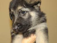 Gorgeous AKC German Shepherd Puppies Black and Red,