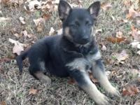 Well bred AKC German Shepherd puppies ready for