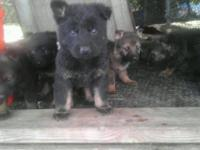 AKC Black Sable & & Black bi-colored German Shepherd