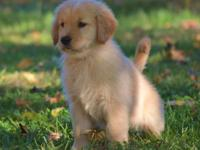 *** Beautiful Male AKC Registered Golden Retriever Pup