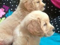 I have 5 stunning AKC signed up golden retriever young