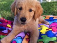 Dark golden retriever dogs are readily available for