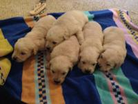 I have twolight tinted Golden Retrievers left. There is