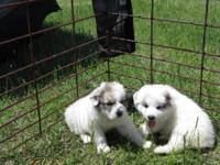 Gorgeous AKC Great Pyrenees Puppies. DOB March 20,