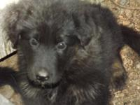 I HAVE 4 GORGOEUS , AKC, GERMAN SHEPHERD PUPPIES THE