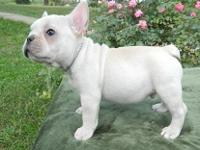 our incredibly cute female AKC French Bulldog Puppy for