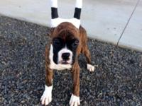 AKC male flashy brindle Boxer, 14 weeks old and ready