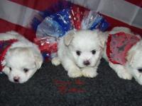 Now taking deposites on 2 male maltese puppies. These