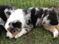 Miniature Australian Shepherd (Mini Aussies) puppies
