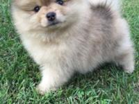 AKC male Pomeranian puppy with Merle gene. This