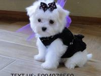 Our Adorable Male & Female Maltese Puppies Available.