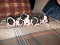 stunning boston terrier puppies for sale ... 2 boys,,3