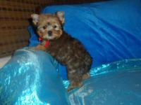 Adorable AKC Registered rare golden color Yorkie Boy