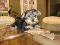 Gorgeous AKC Registered Yorkie Puppy. He is 9 weeks