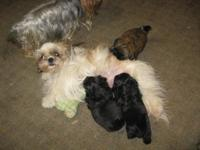 These beautiful male Shih Tzu puppies, born 3/22, will