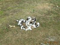 I have 5 absolutely gorgeous AKC shih tzu puppies that