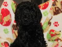 We have 5 gorgeous Specification poodle young puppies.