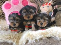 Gorgeous AKC Teacups Yorkshire Puppies Potty Trained