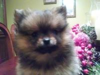 Sweet little AKC registered little pomeranian girl. She