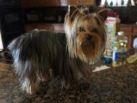 Roxy is an absolutely lovely conventional Yorkie with