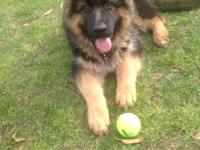 Gorgeous West German Shepherd litter due the the start