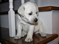 White Labrador Retriever Puppy; AKC; Champion