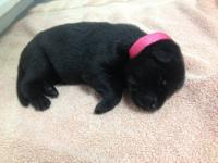 Available are 2 all black females born October 5, 2013.
