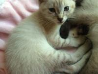 Lynx Siamese Female 10 weeks old This is one of the